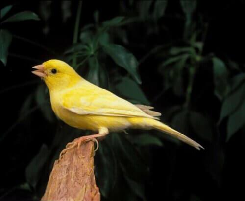 Perché i canarini cantano? Questione di ormoni