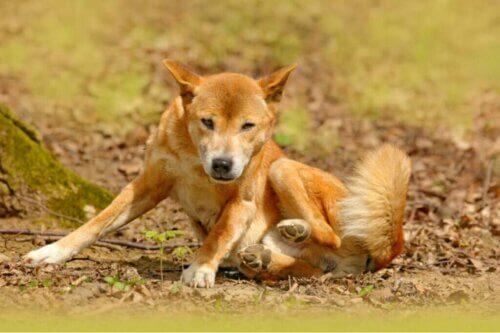 Il cane canoro della Nuova Guinea non si è estinto