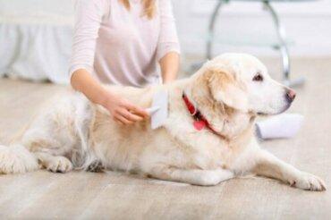 Muta del pelo nei cani: quanto dura?