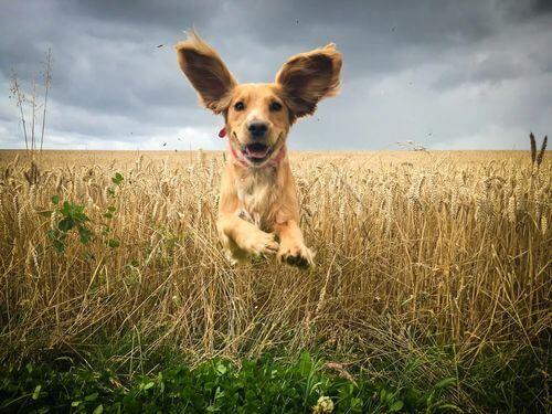 Cane che corre con le orecchie in evidenza. Otite nei cani.