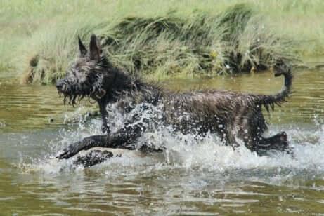 Cane da Pastore di Piccardia in acqua.