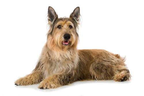 Cane da Pastore di Piccardia: alimentazione e carattere