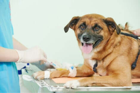 Disfunzioni del tratto urinario: cane dal veterinario.
