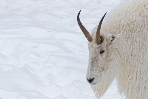 Il manto della capra delle nevi.