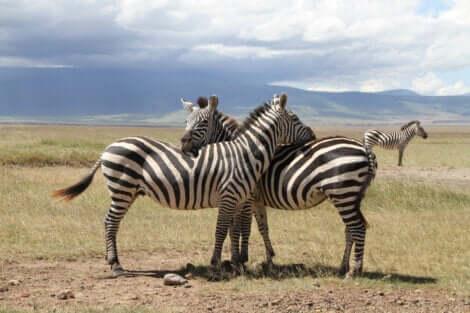 Gli animali possiedono una coscienza? Coppia di zebre.