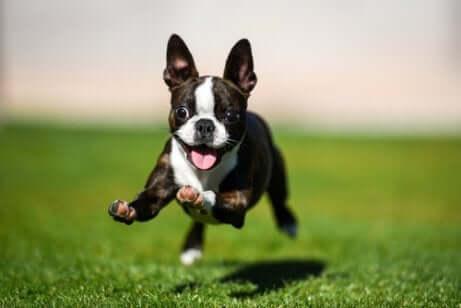 Cucciolo di Boston terrier che corre su un prato.