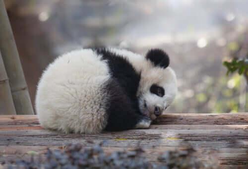 Cucciolo di panda.