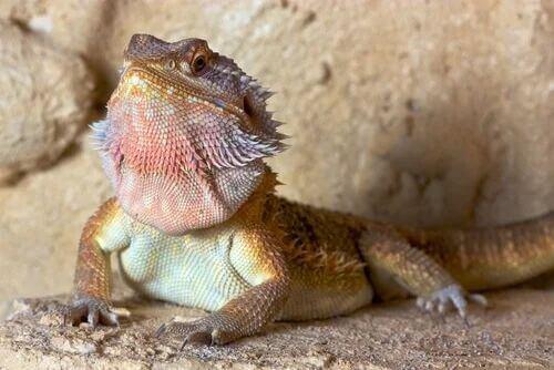 Come riconoscere un drago barbuto dalla testa striata?