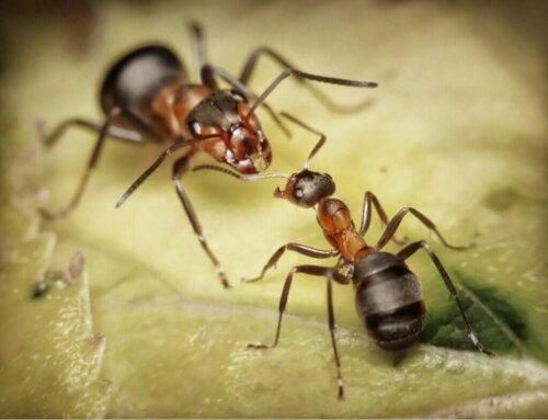 5 curiosità sulle formiche legionarie