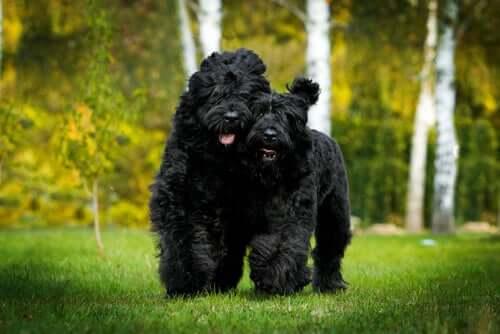 Due Terrier nero russo corrono.
