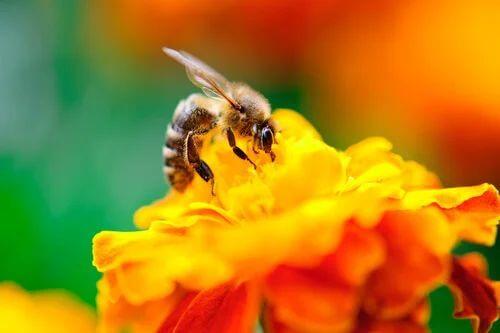 Calendula tra i fiori che attirano di più le api.