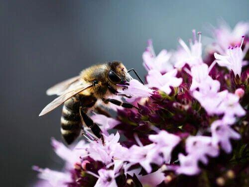 Origano tra i fiori che attirano di più le api.