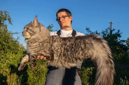 Dieta nel gatto. Gatto gigante.