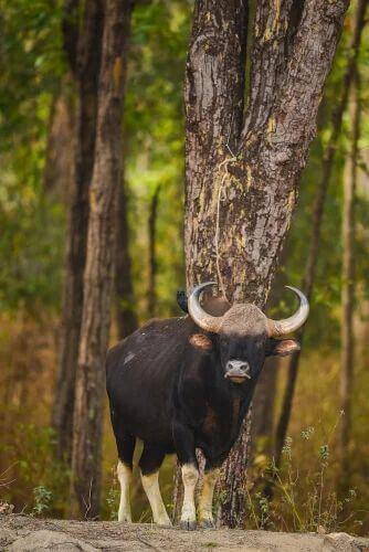 Conservazione del gaur.