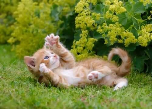 Gatto gioca con i suoi artigli.