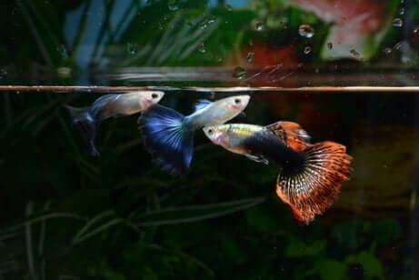 La riproduzione in un acquario: pesci guppy.