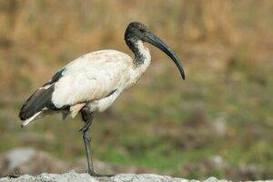 Ibis sacro, un uccello curioso che ha ispirato miti e leggende