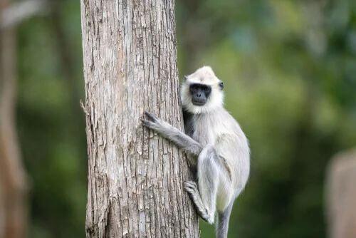 Langur grigio: caratteristiche di questa simpatica scimmia