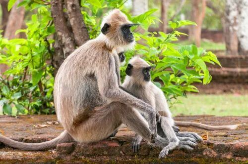 Langur grigio, mamma con piccolo seduta su un muretto.