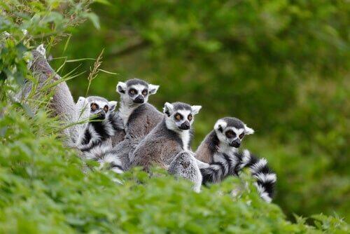 Lemure dalla coda ad anelli: caratteristiche, habitat e comportamento