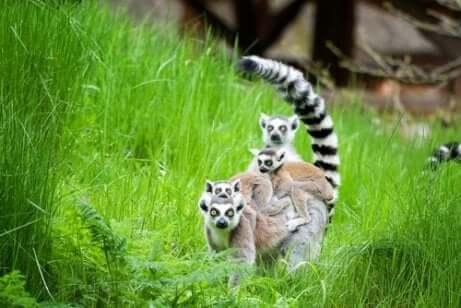 Lemure dalla coda agli anelli nell'erba.