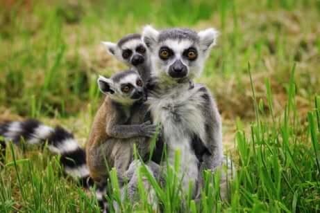 Gruppo di lemuri del Madagascar.