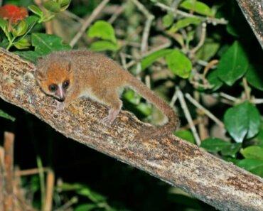 Microcebo: il lemure più piccolo del mondo