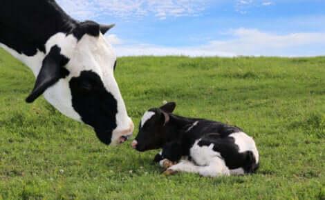 Svezzamento di un vitello: mucca con il vitello.