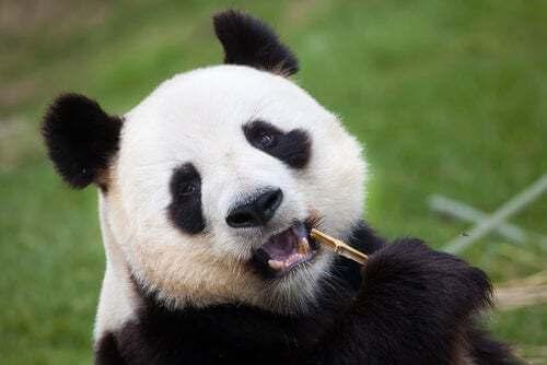 Panda che mangia bambù.