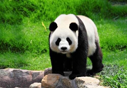 Curiosità sul panda gigante che non conoscevate