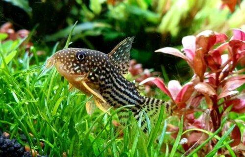 4 pesci da fondo perfetti per il vostro acquario