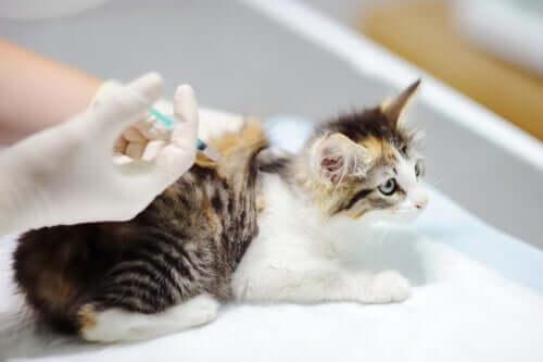 Fibrosarcoma nei gatti: trattamento e cura