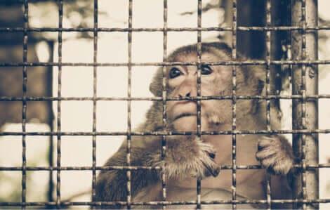 Commercio illegale di animali: scimmia in gabbia.
