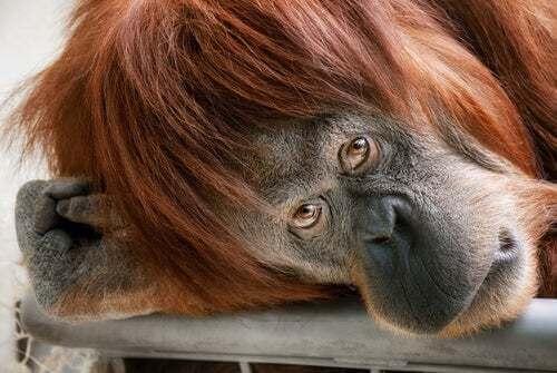 Scimpanzè che guarda in camera.