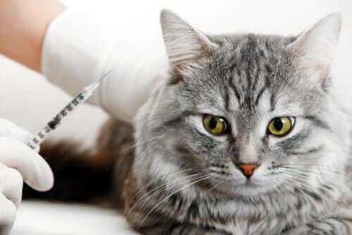 Medico che regge una siringa accanto al gatto.