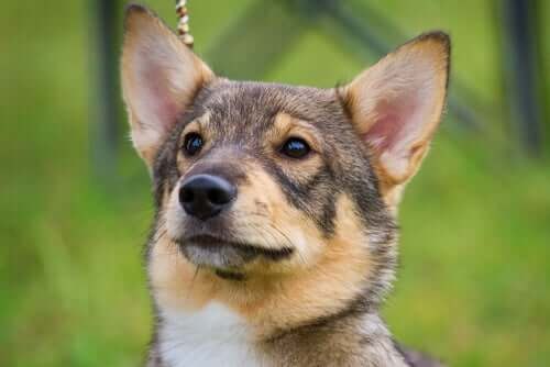 Swedish Vallhund: un bellissimo cane di origine svedese