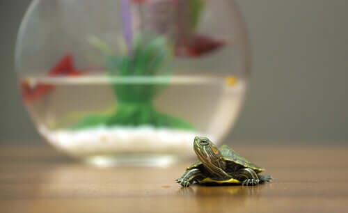 Tartaruga piccola. Animali appartamento.