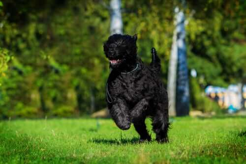 Terrier nero russo che corre.