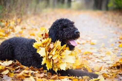 Il Terrier nero russo: un eccellente cane da guardia
