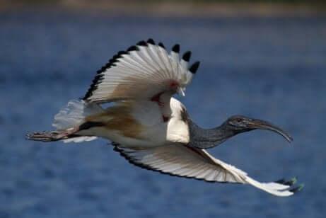 Ibis sacro in volo.