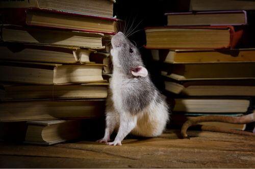 Topo di biblioteca.