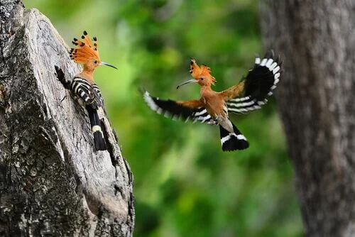 Due upupe vicino al loro nido.