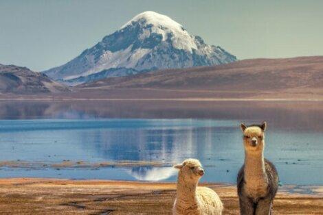Due alpaca vicino ad un lago.