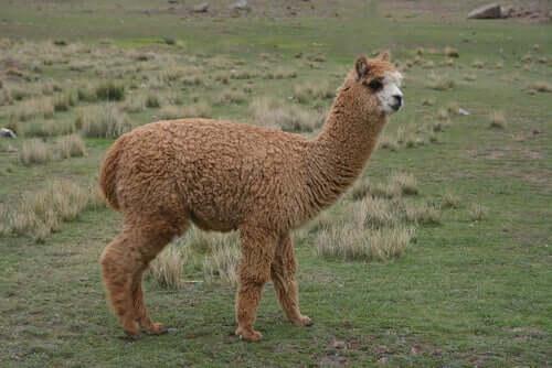 Alpaca: caratteristiche di un mammifero bizzarro