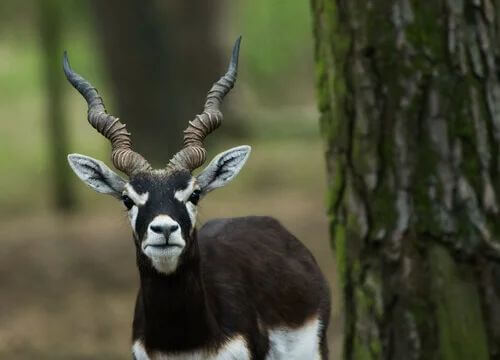 Antilope cervicapra: caratteristiche e ciclo riproduttivo