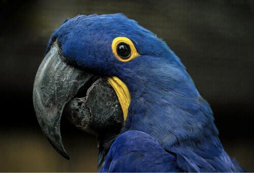 Ara giacinto blu.