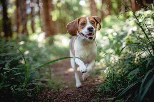 Quali sono le malattie più comuni nei beagle?