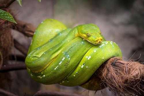 Boa dell'albero di smeraldo che si riposa su un ramo.