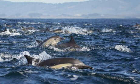 Branco di delfini comuni.