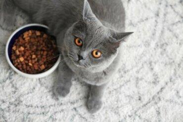Dieta del british shorthair: come deve essere per mantenerlo in salute